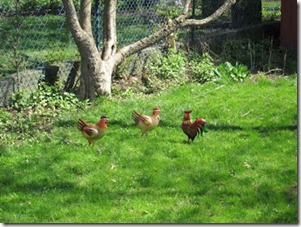 city chickens_22_resize 2