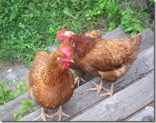 country chickens_0121