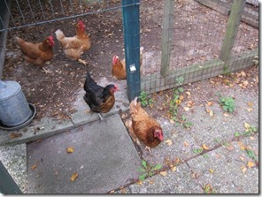 country chickens_0379